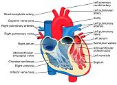 Niewydolność serca - przyczyny i objawy